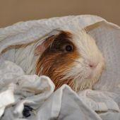 Un bain pour le cochon d'inde ? - Cochon d'inde Club, info et actu !