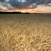 Le blé contient non pas une, mais plus de 23,000 protéines potentiellement dangereuses