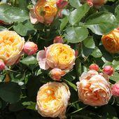 b7. Les rosiers miniatures (nains) - plaisir-jardin.com