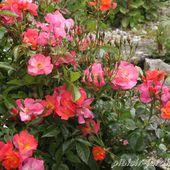 Le 400eme est ... 'Eclats d'Ambre' - plaisir-jardin.com