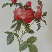 b2. les rosiers centfeuilles (centifolia) - plaisir-jardin.com