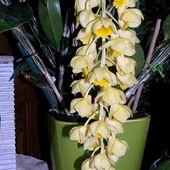 Grappe thyrsoïde dorée : Dendrobium Thyrsiflorum - Orchidium-Vaunage