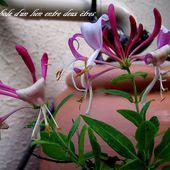 Symbole et mythologie des fleurs: le chevrefeuille - Orchidium-Vaunage