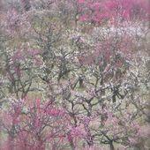 Les fleurs de pruniers Umé no Hana (梅の花) - JAPON BALADES