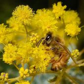 Mid Winter in Ballarat Australia and the bees will take any nice weather to get busy and get ready for the explosion in spring. Not long to go now! In a cootamundra wattle #spring #bees #beekeeping #wattle #apiary #apis #ul