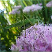 Grande sauterelle verte. - Le blog de Estelle S C
