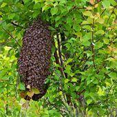 Essaim d'abeilles sur la côte d'opale Syndicat Apicole du Boulonnais et du Calaisis.
