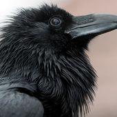 Intelligenz der Tiere: Raffinierte Rabenvögel | BR.de