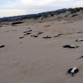 Des mortalités cataclysmiques s'ajoutent au Chili (et un peu partout dans le monde): en plus des 40 000 tonnes de saumons et des 8000 tonnes de sardines échouées depuis le début 2016, voilà que ce sont des millions de crevettes et cent cormorans qui sont arrivés morts sur la côte chilienne au cours des derniers jours - MOINS de BIENS PLUS de LIENS