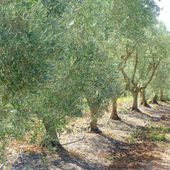 Jouques, lavandes, truffières, oliviers, balade sur le plateau de Bèdes - Hélène SF