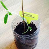 Semis de cornichon, deuxième essai (essai du printemps 2017) - Le blog botanique de Nanie, petit à petit