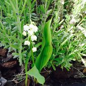 Le muguet, la dernière plantation printanière du jardin urbain (semis 2016) - Le blog botanique de Nanie, petit à petit