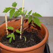 Pourquoi je sème des tomates en février - Au jardin des Quatre Moineaux