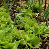 Le potager en mai - Au jardin des Quatre Moineaux