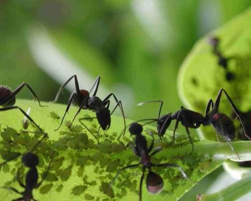 Les fourmis ont inventé l'agriculture avant l'Homme !