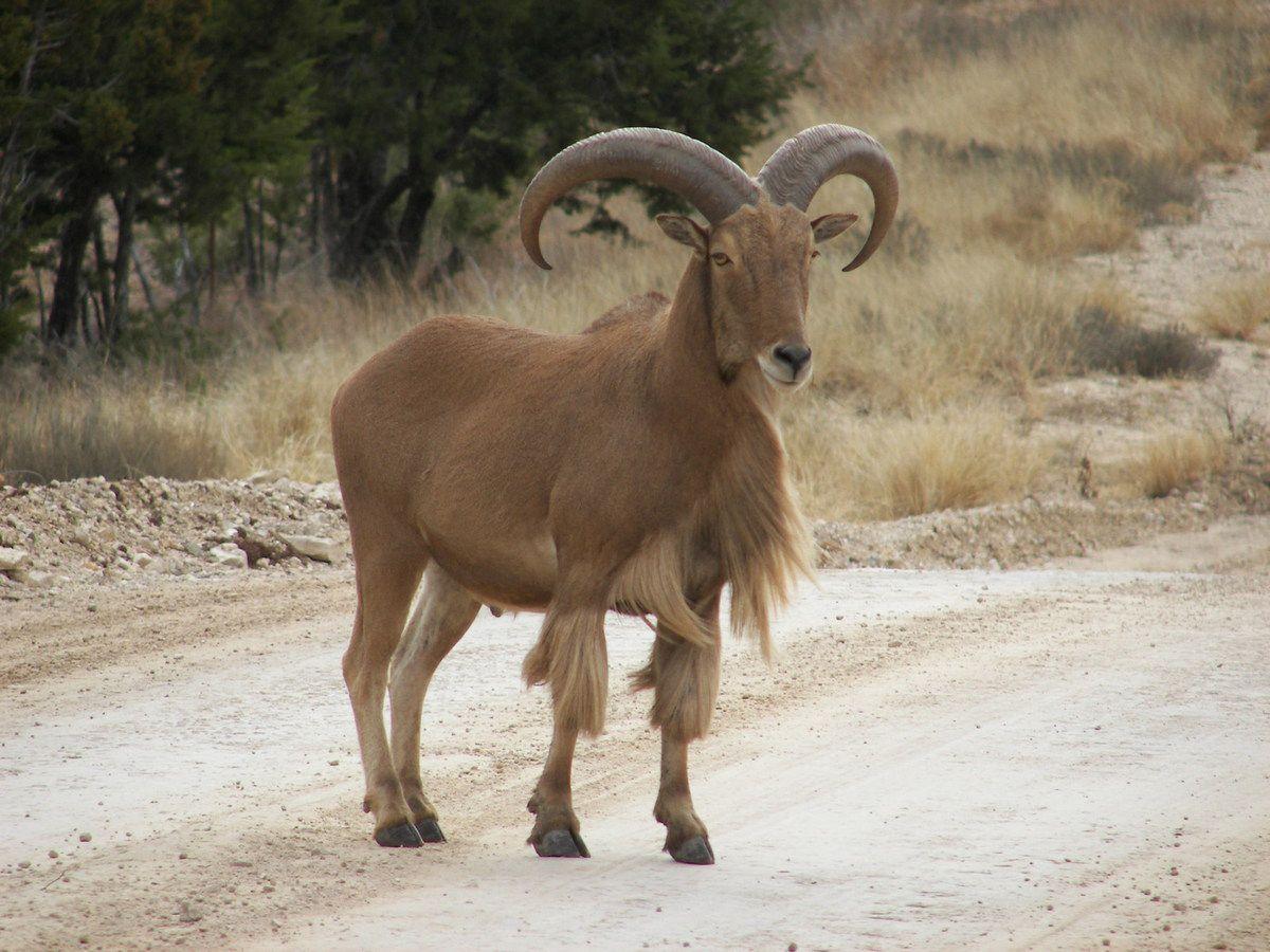 Wild Ruminant Livestock