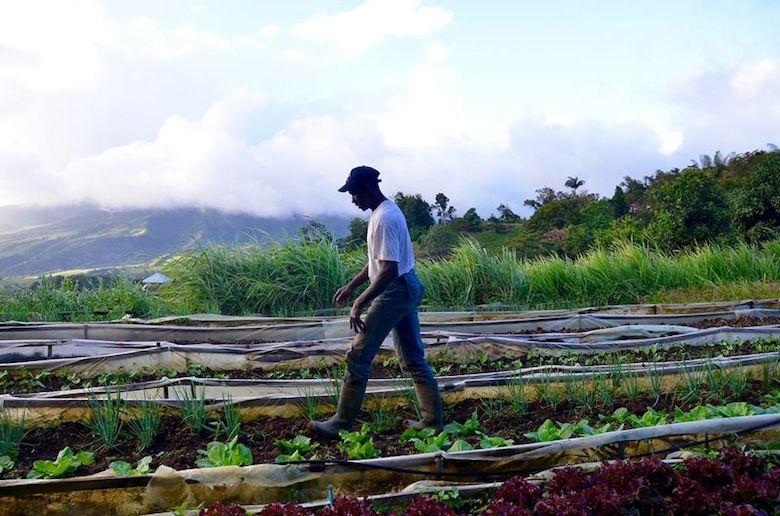 France, Martinique. Ils défendent l'agriculture traditionnelle en Martinique. Vidéo 4 minutes