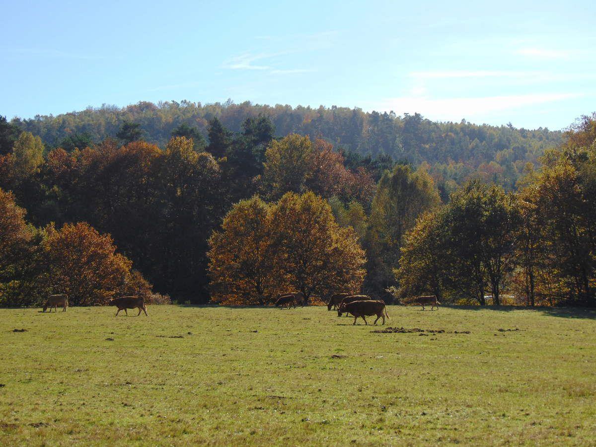 Un paisible troupeau de vaches profite de cet agréable automne.