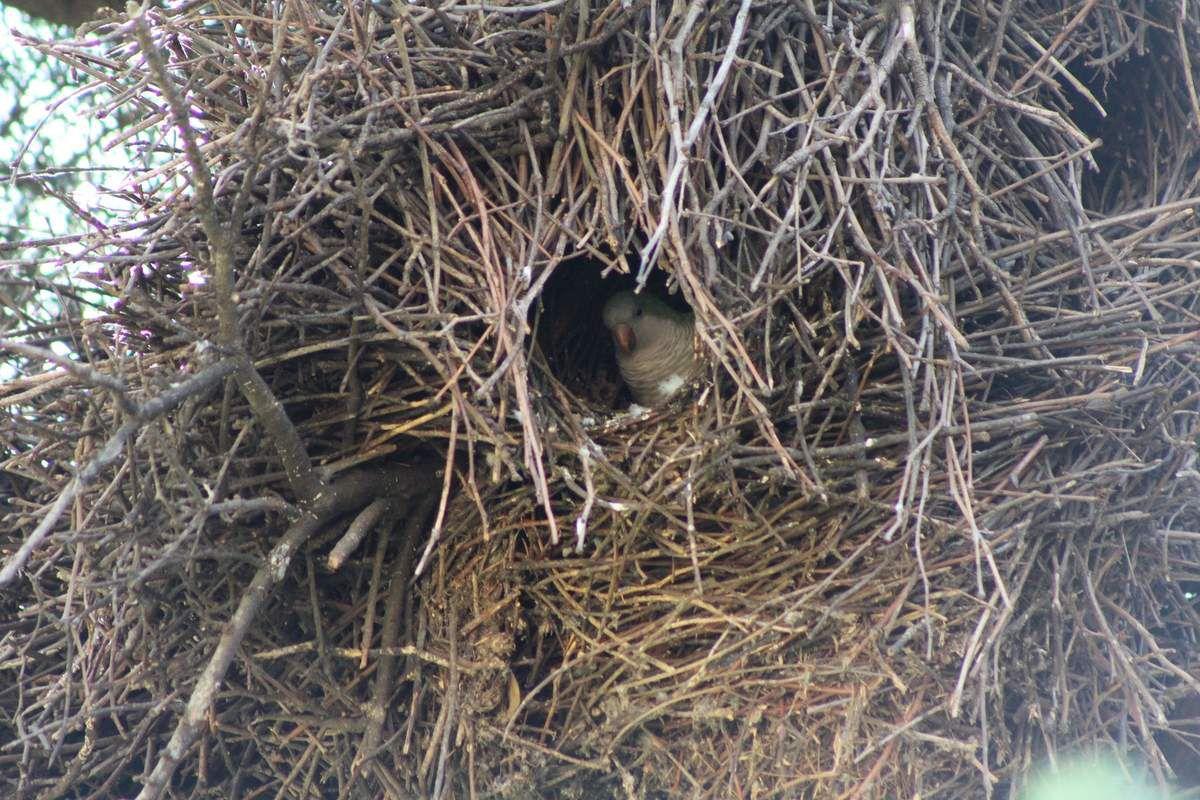 "La perruche verte (""Lora"") dans son nid"