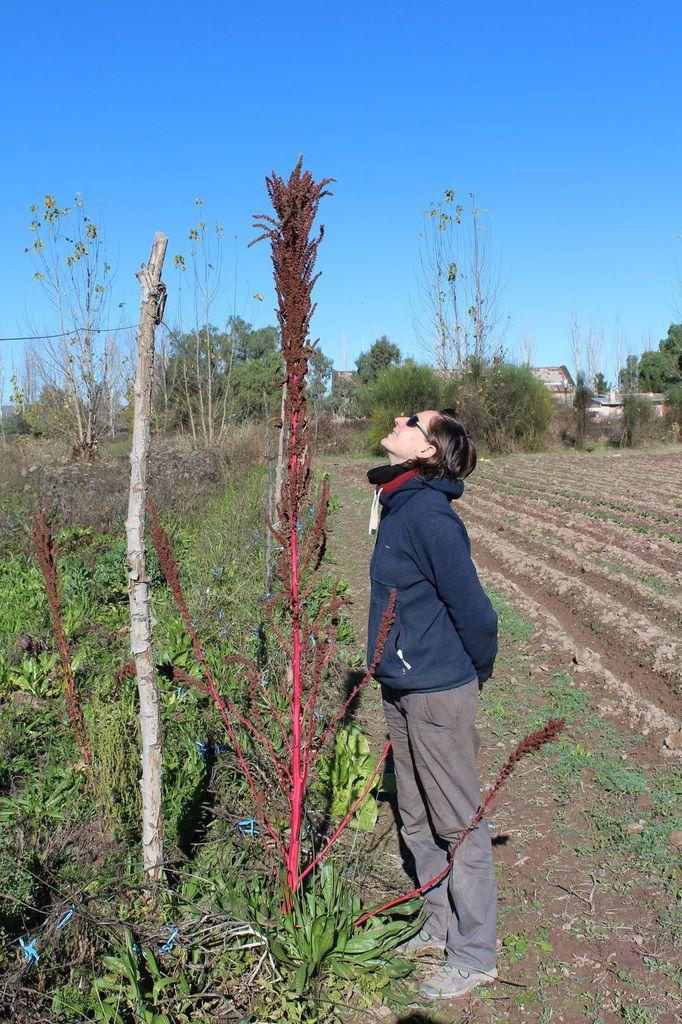 Les plants d'origan, à séparer en petites parties et à enterrer dans ces tranchées. En dernier, un plant d'Amarante.