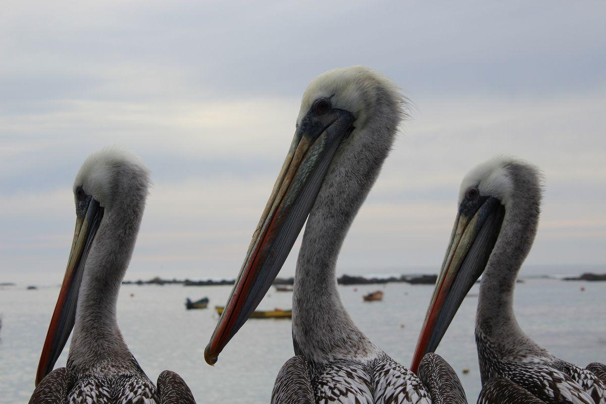 Des troupeaux de piafs: Cormorans, pélicans, urubu à tête rouge, goélands et autres