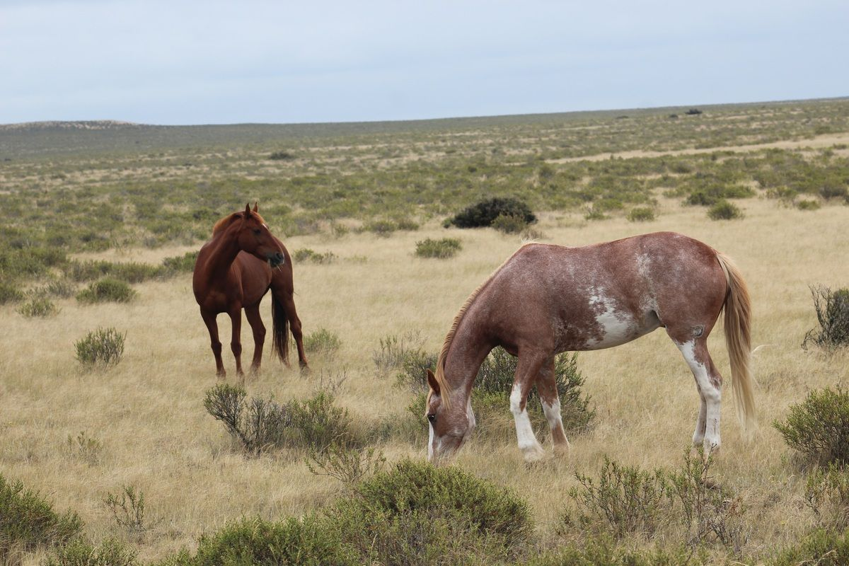Chevaux patagons