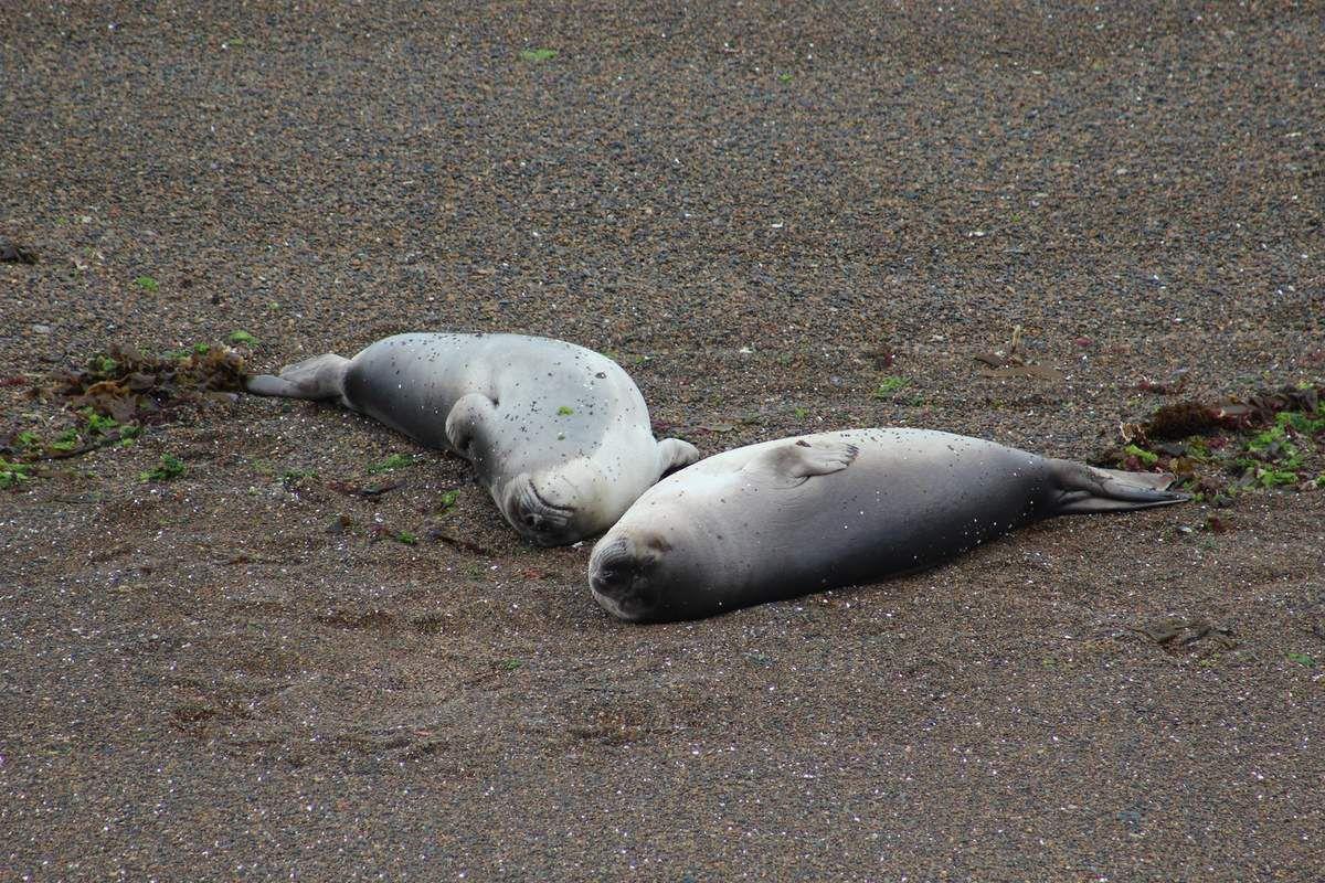 Les éléphants de mer, monstres marins allant jusqu'à 3,5 tonnes