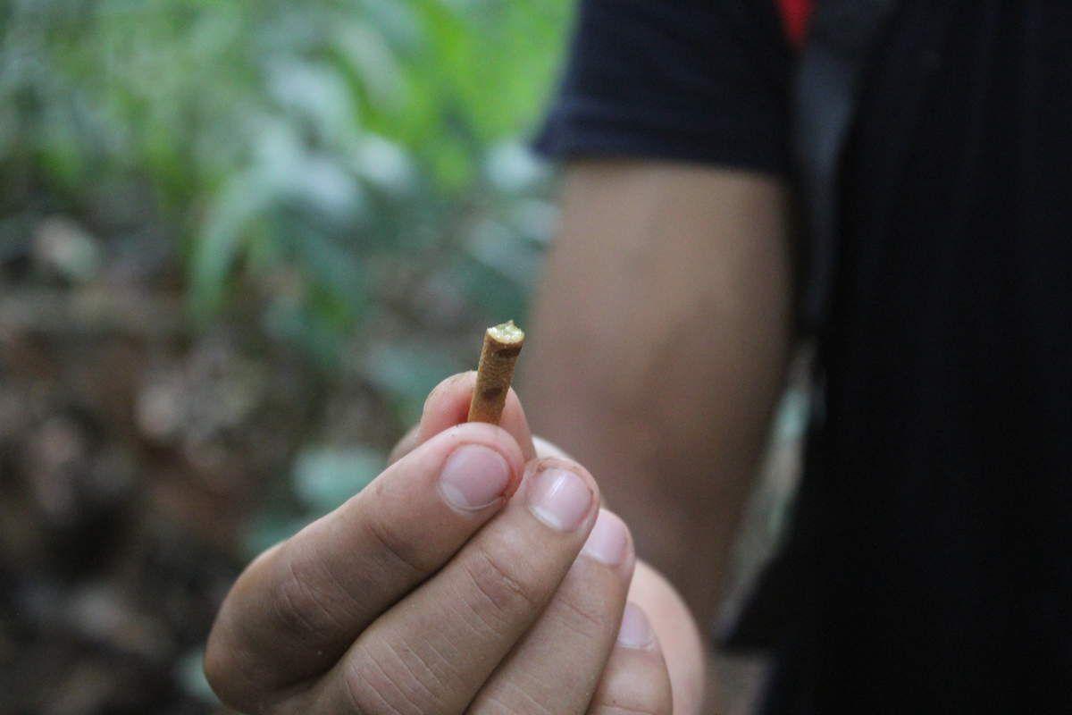 Uju Caspi en kichwa: cette racine est très efficace en infusion pour les maux de gorge.