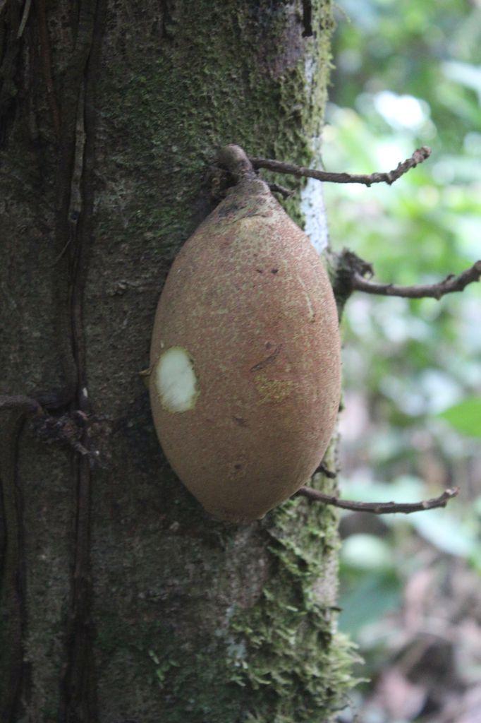 Le Piton, un fruit tropical sauvage et comestible. Un léger gout de beurre pas désagréable.