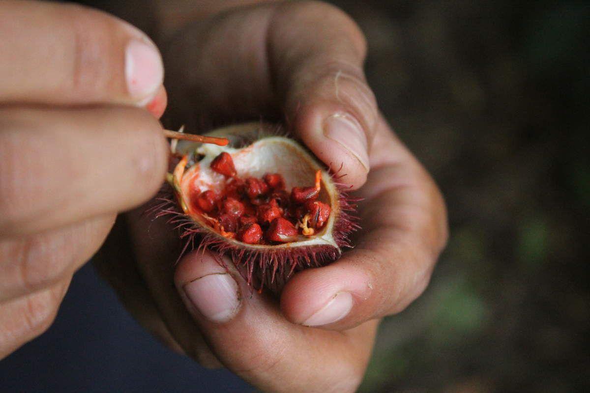 Et commes le veut la tradition, après les couronnes, le maquillage créé à partir d'un fruit non comestible pour l'homme, qui contient des graines rouges. Celles-ci mélangées à de l'eau donne une sorte de peinture naturelle qu'ils utilisent pour peindre les visages.