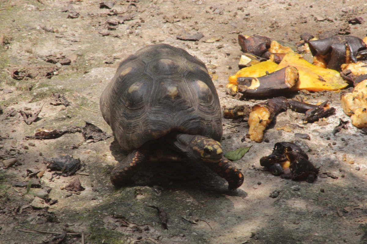 Une tortue terrestre.
