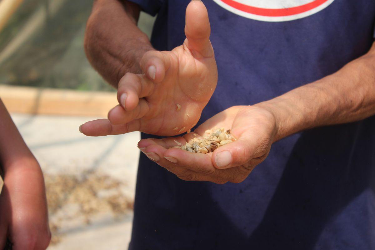 3ième étape: une fois séché, il faut enlever la peau sèche pour libérer le grain, ici fait à la main pour la démo...