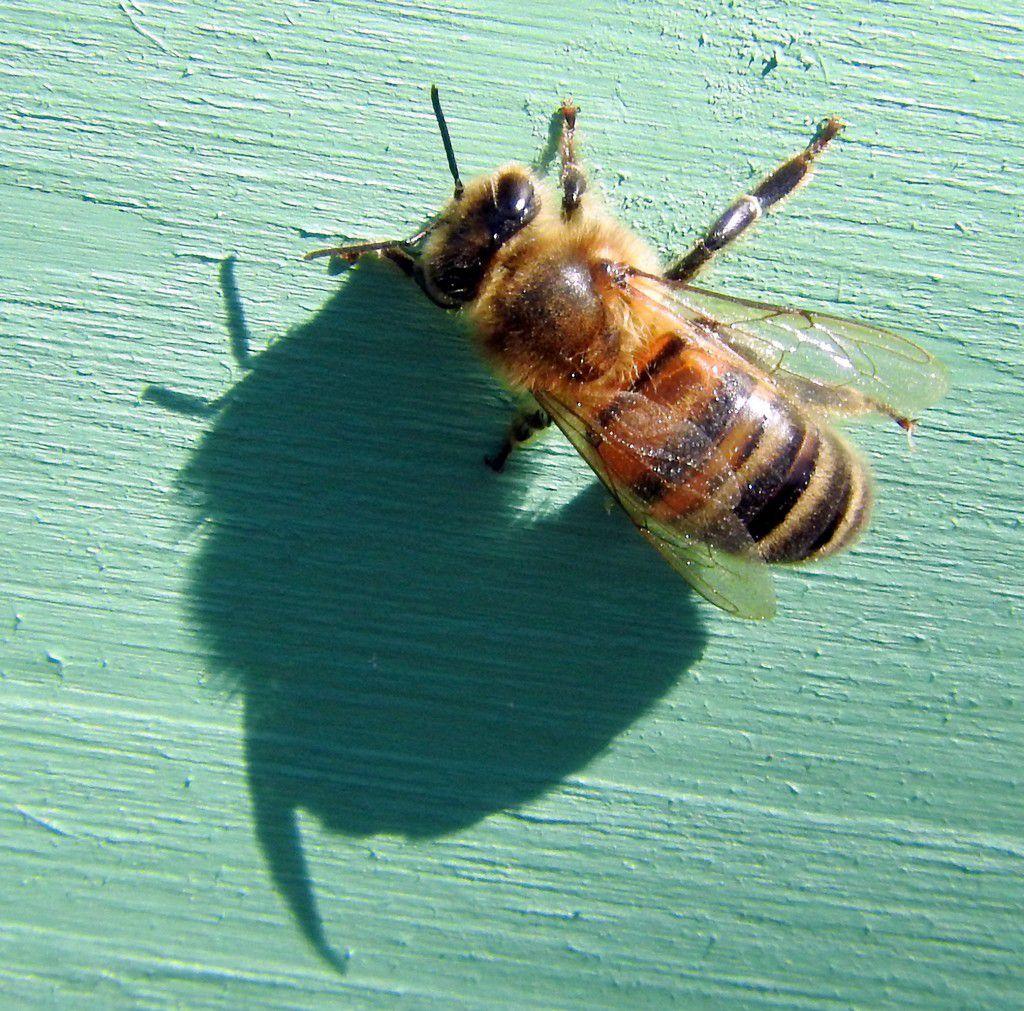 abeille et opercules (les plus gros sont ceux contenant les faux-bourdons)