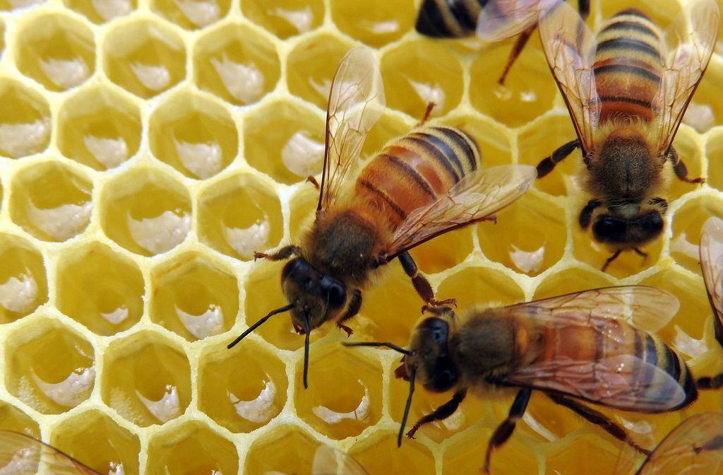 alvéoles gorgées de miel