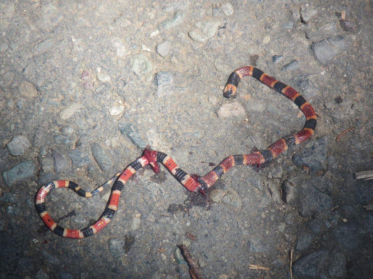 serpent sur le chemin (écrasé)