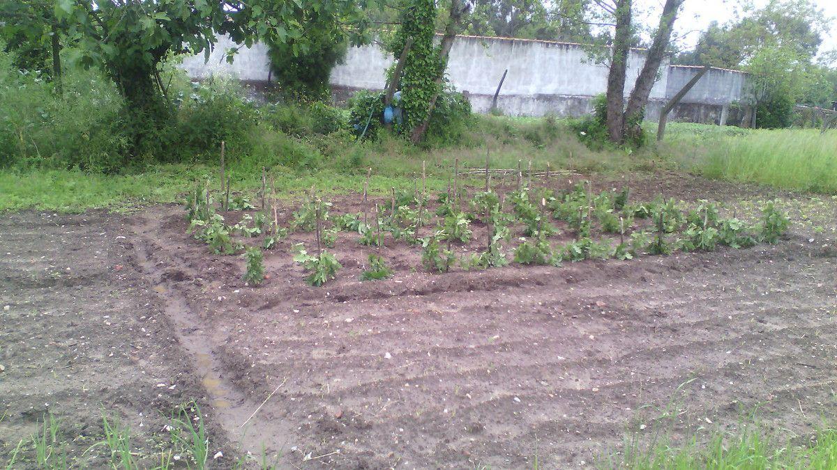 les tomates, les pommes de terre et en premier plan les oignons