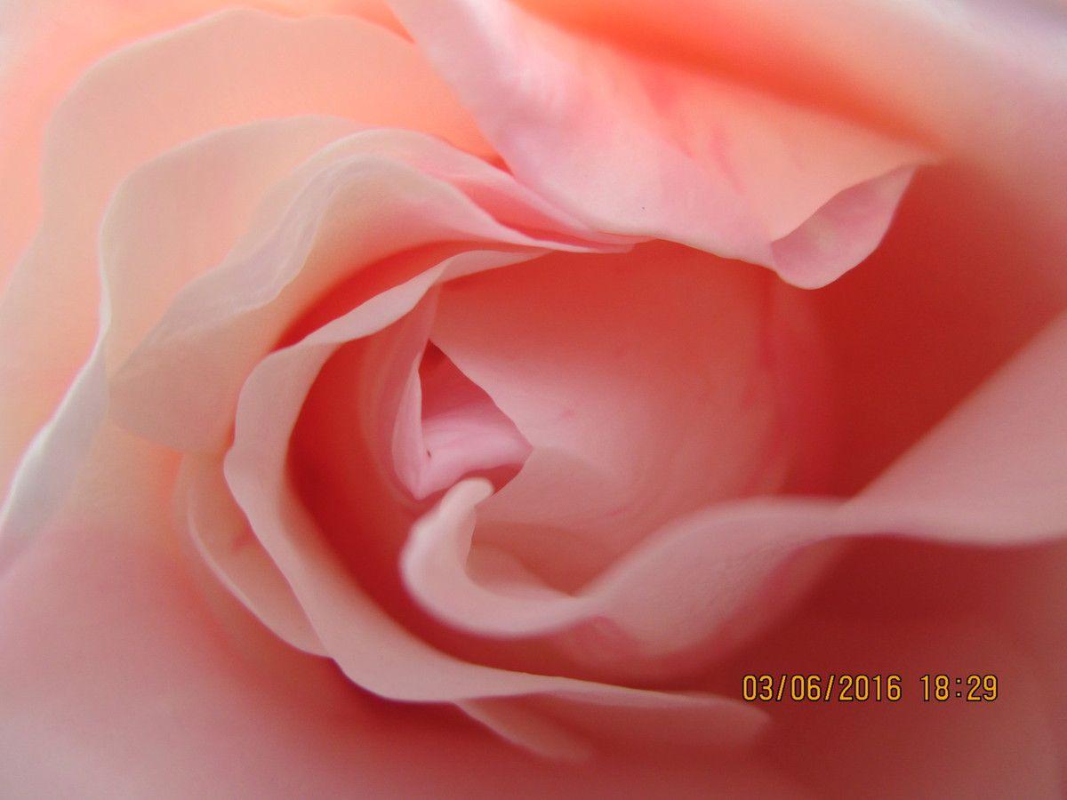 la naissance d'une rose