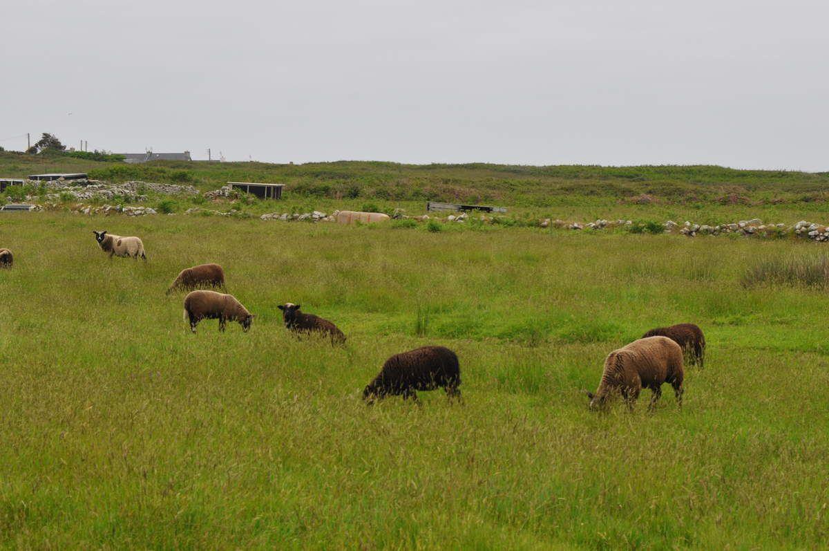 Les moutons noirs, spécialité d'Ouessant (au sarrasin bien sûr !)