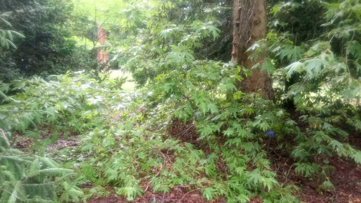 Le platane à feuilles digitées - On le trouve à Chypre ou au Caucase.