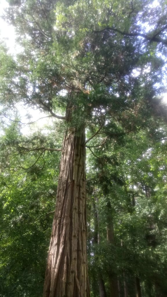 Le cèdre à encens est originaire de la Chine, de la Birmanie et aussi des Etats-Unis d'où vient celui-ci qui a été planté en 1860. Son bois peut être brûlé comme encens, d'où son surnom.