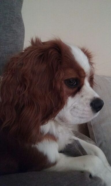 club canin cavalier king charles