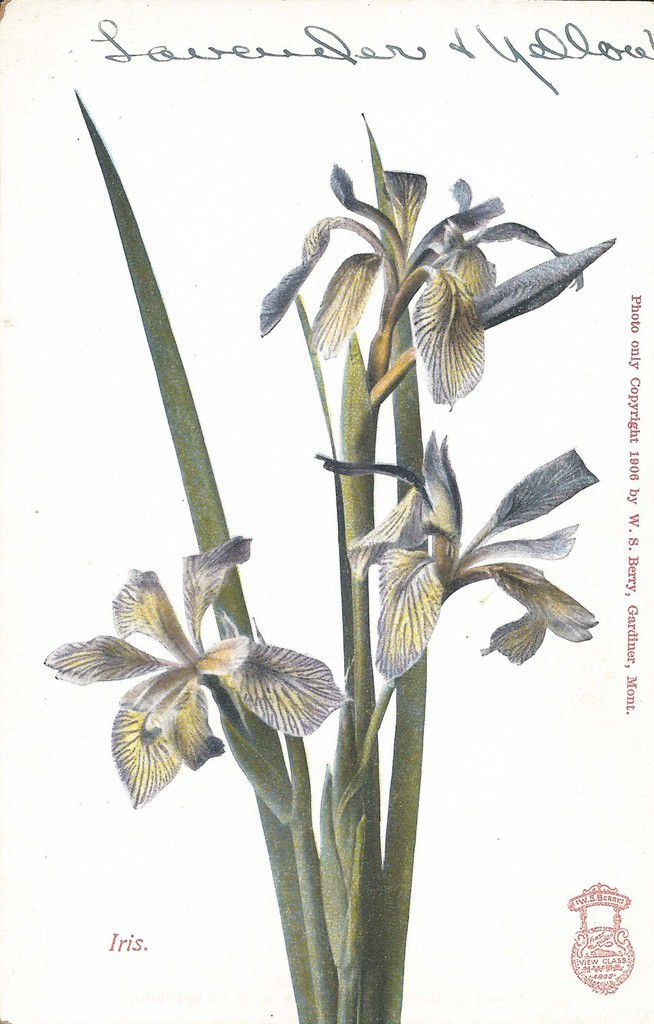 608 - IRIS - photo only Copyright 1906 by W.S.Berry, Gardiner,Mont.