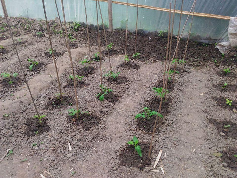 Les tomates : miam !