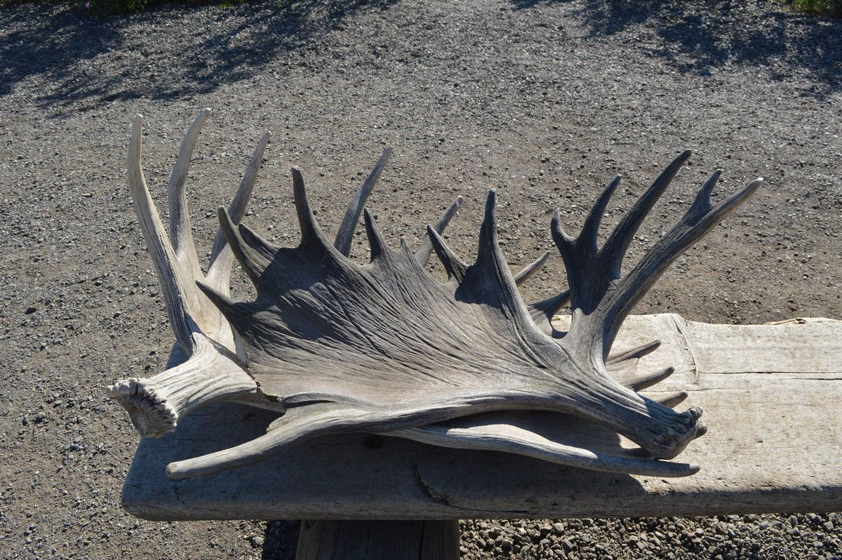 Bois d'élan (moose)