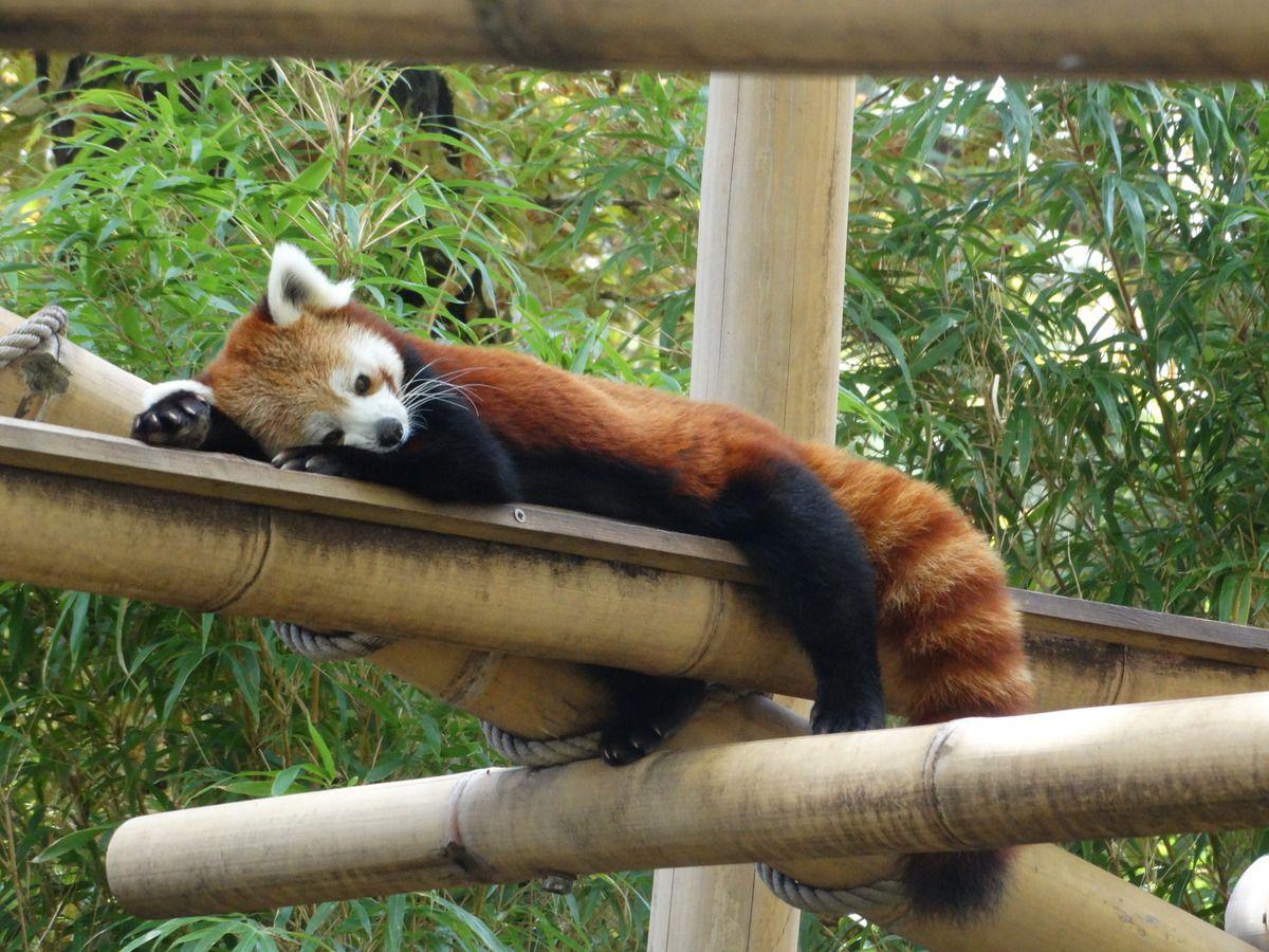 Paris La Menagerie Zoo Du Jardin Des Plantes Panda Roux Bernard