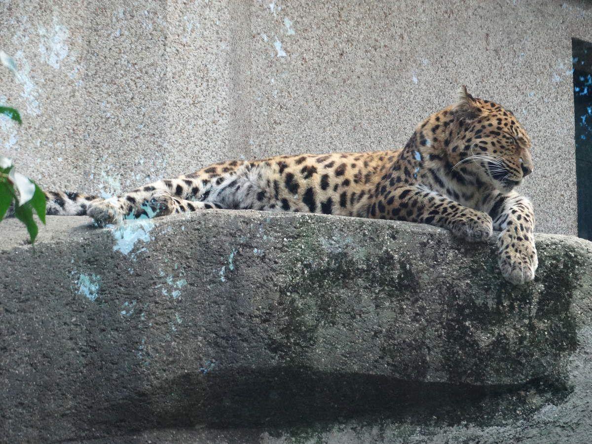 Paris, La Ménagerie Zoo du Jardin des Plantes –   La Panthère de Chine du Nord