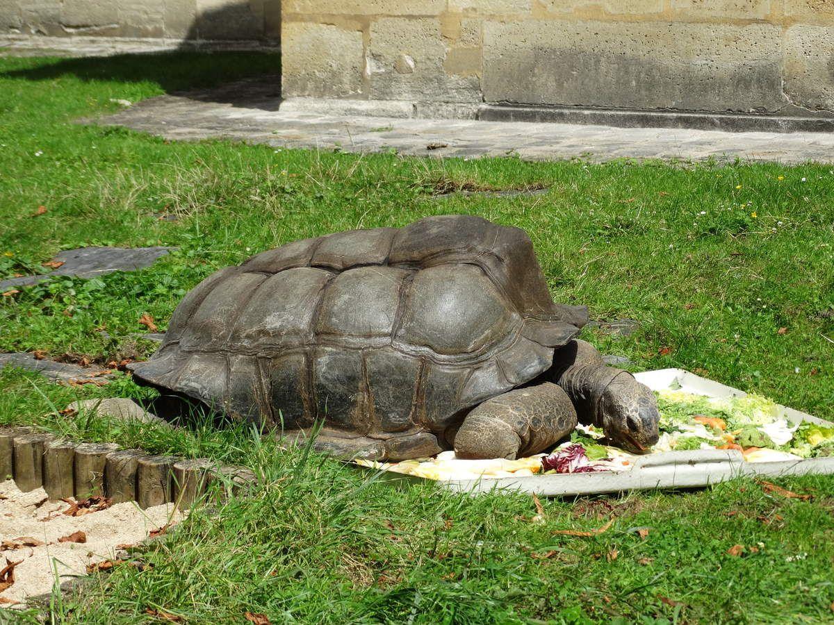 La tortue des Seychelles (espèce vulnérable)