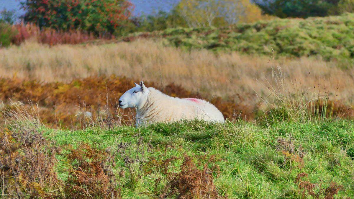 Il y en a plus en Ecosse que d'habitants mais on en a pas pris un seul de tout le voyage sauf peut-être sur des paysages, donc voilà. Un seul mouton.