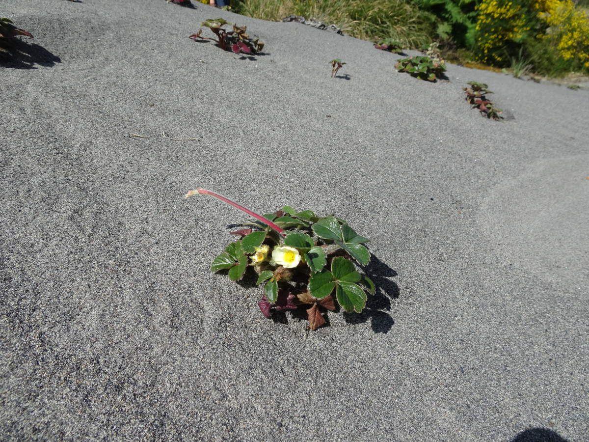 La plage, ses étendues de fleurs jaunes et ses fraisiers...