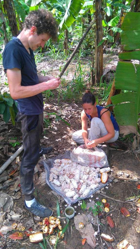 Au travail dans la plantation de cacao